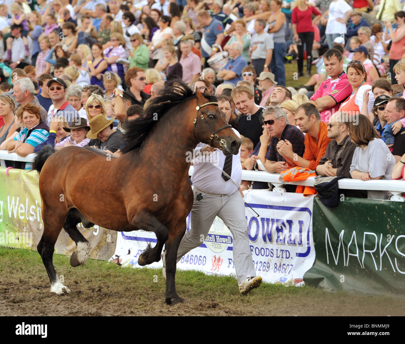 Royal Welsh Show 2010 senior 'Welsh Cob' stallion competition running past excited crowds - Stock Image