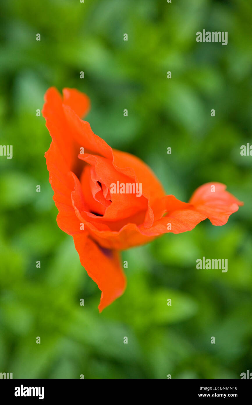 An Orange Oriental Poppy Flower About To Open Stock Photo 30573684