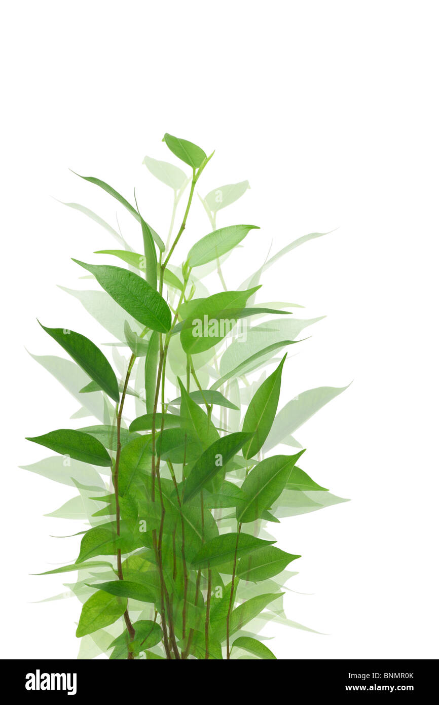 Branches of young green plant against white background - Stock Image