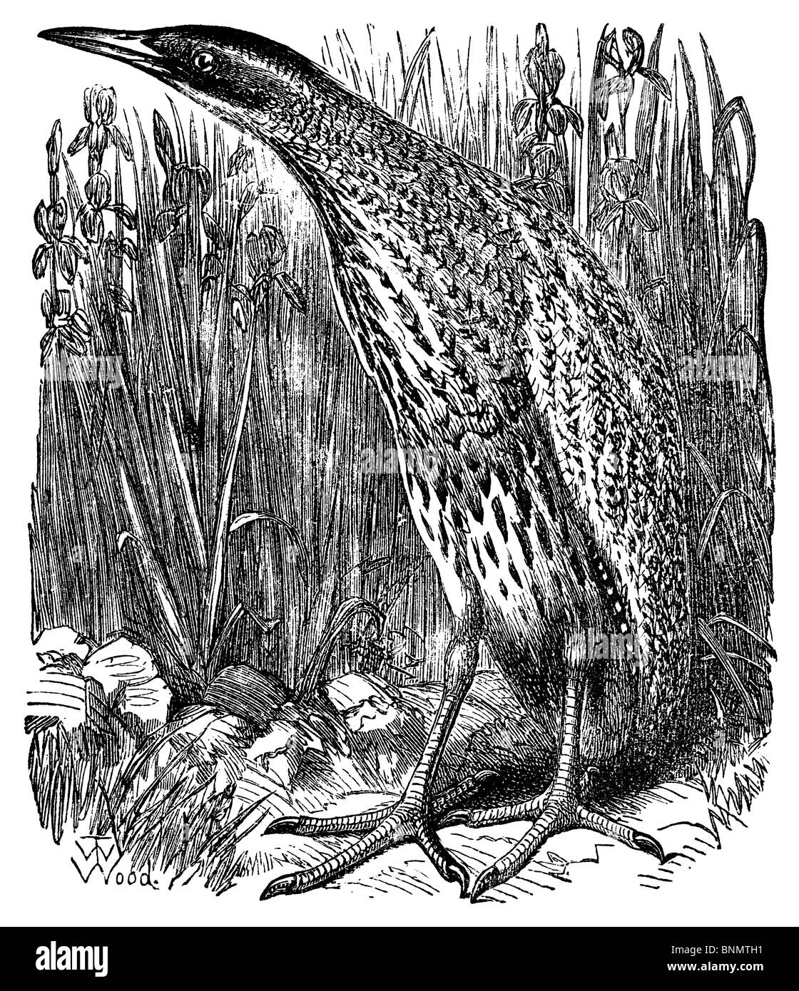The Bittern, from Wood's 'Bible Animals' (Guelph, Ontario, 1877) - Stock Image