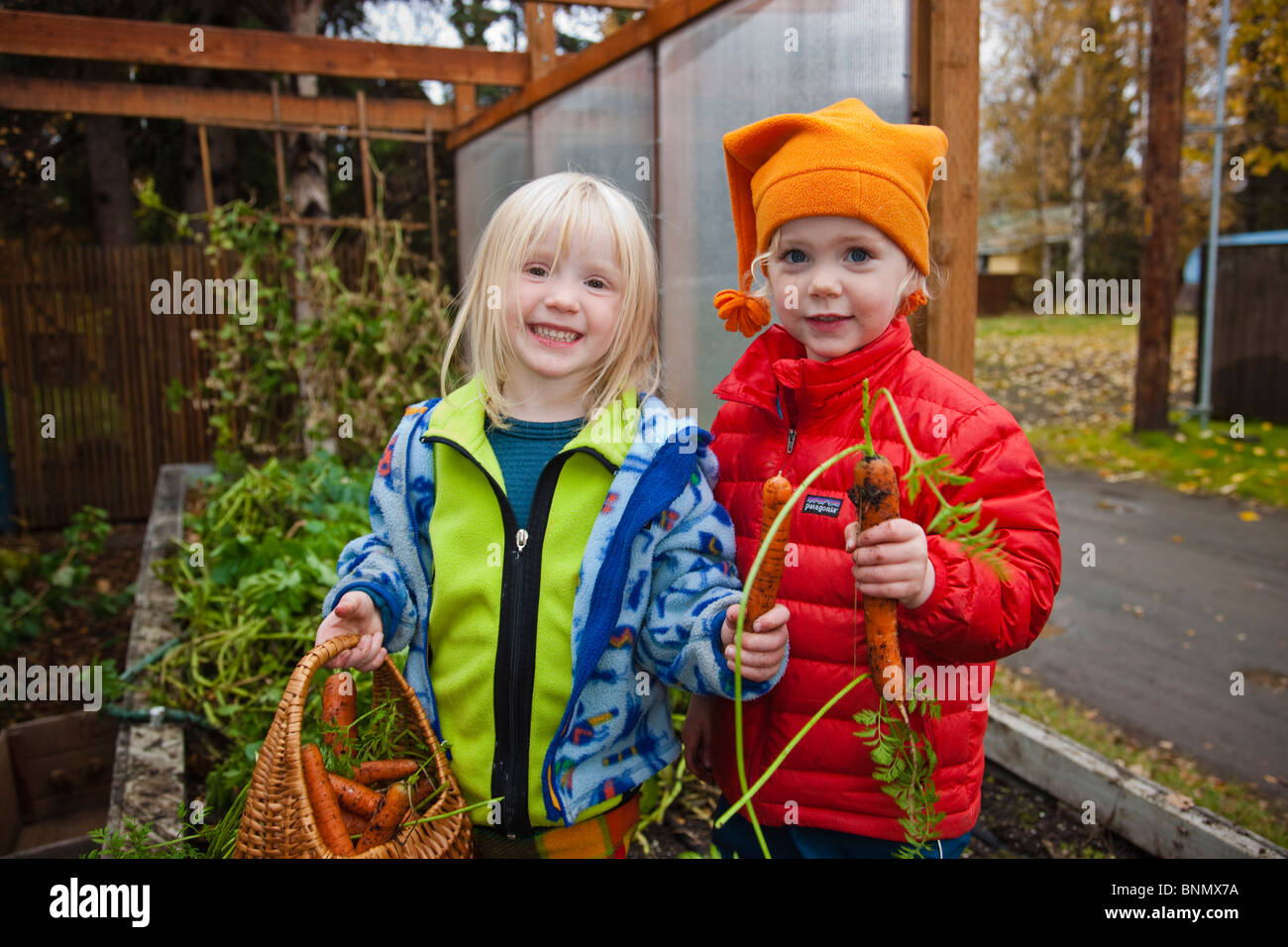 Young female children pick home grown organic carrots out of their parents garden, Anchorage, Alaska - Stock Image