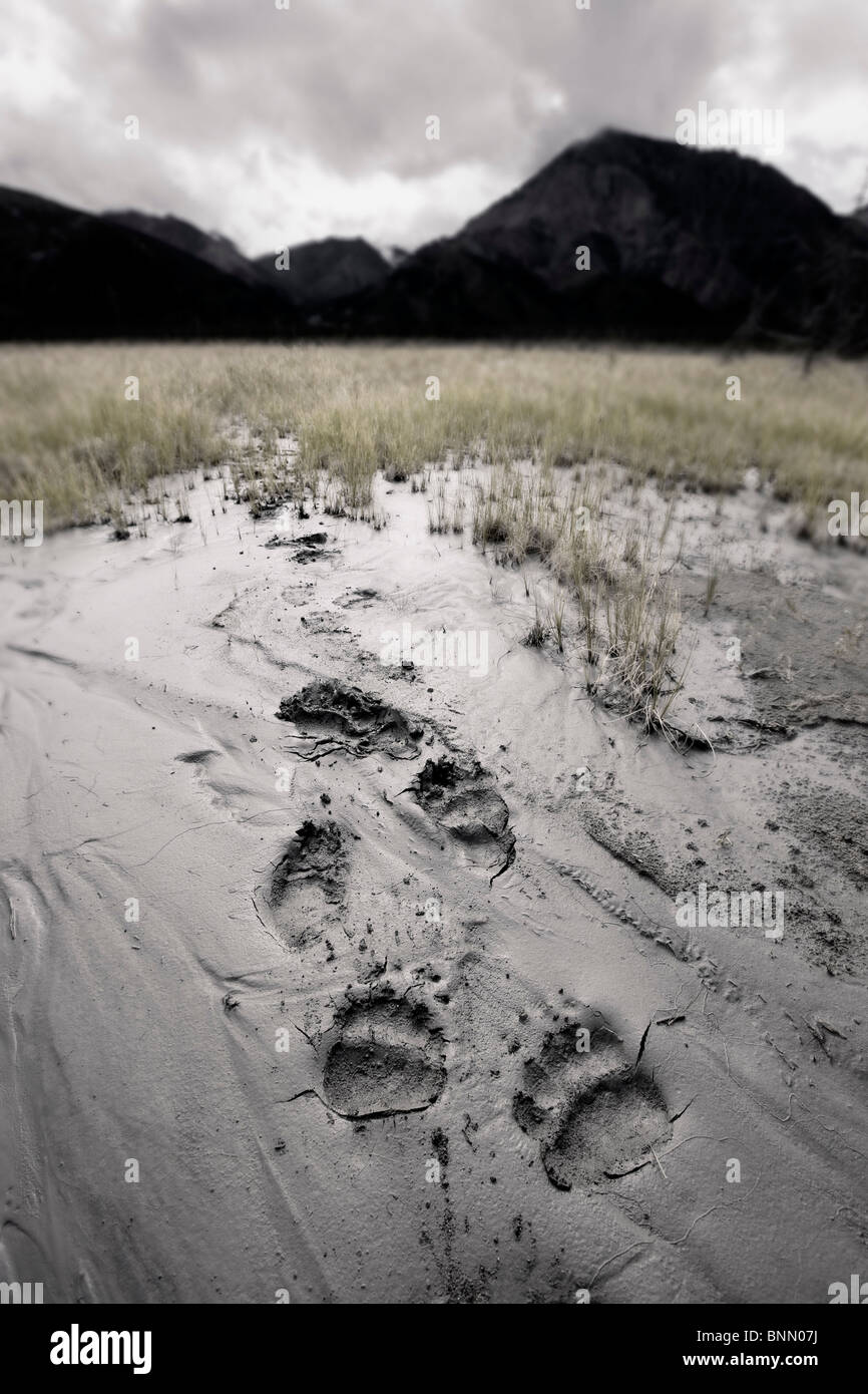 Brown bear tracks lead through a deposit of glacial silt in the Slims River valley, Kluane National Park, Yukon, - Stock Image