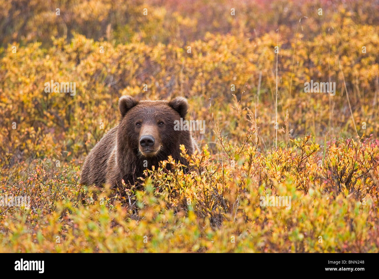 Portrait of an adult brown bear amongst the fall foliage in Denali National Park, Alaska, Autumn Stock Photo
