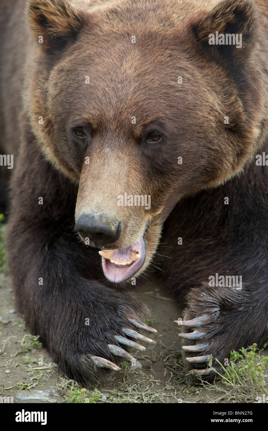 CAPTIVE Grizzly close up with both paws outstretched and showing teeth, Alaska Wildlife Conservation Center, Alaska - Stock Image
