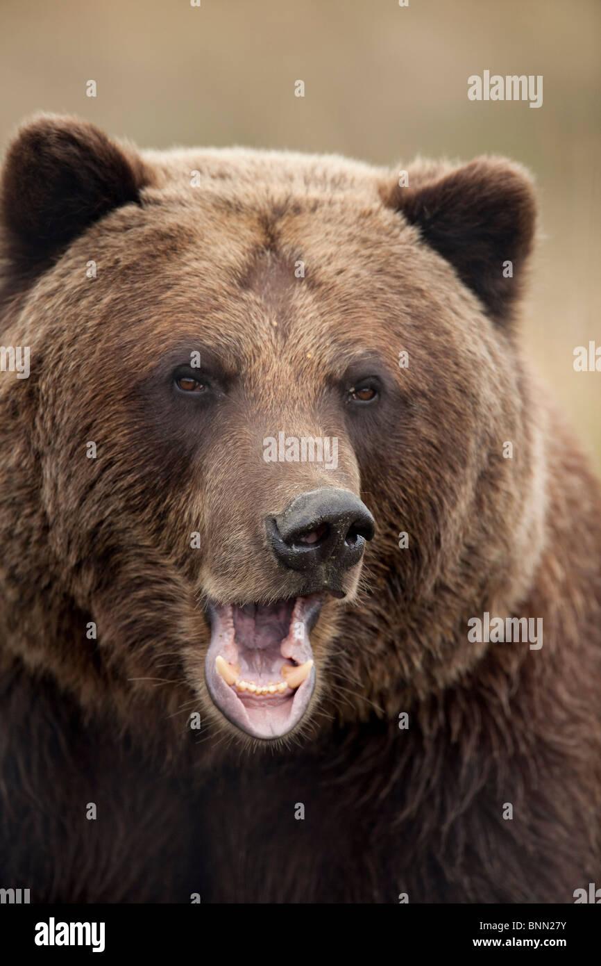 CAPTIVE: Close up of a snarling grizzly bear at the Alaska Wildlife Conservation Center, Alaska - Stock Image