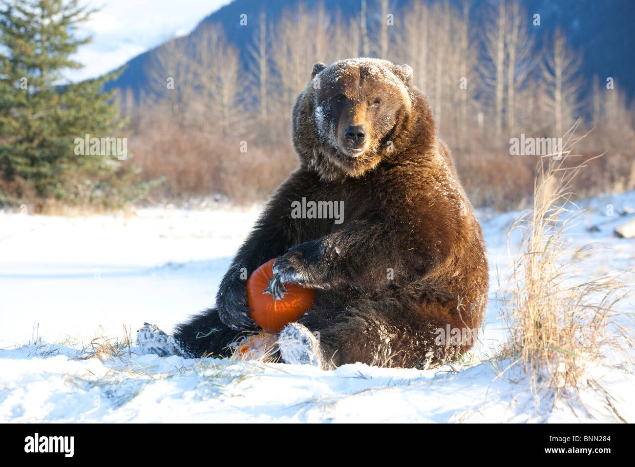 CAPTIVE Grizzly plays with a pumpkin during Winter at the Alaska Wildlife Conservation Center, Alaska - Stock Image