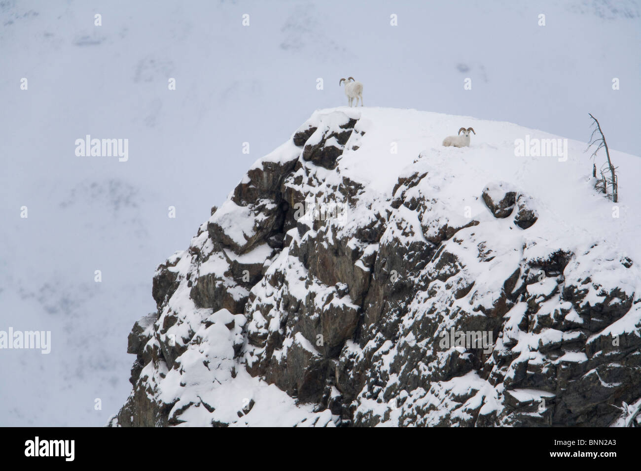 Dall Sheep standing and resting on rocky top of  Sheep Mountain, Kluane National Park, Yukon Territory, Canada - Stock Image