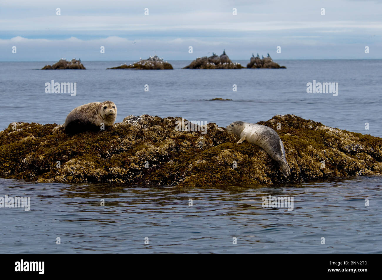 Two Harbor seals rest on a rock off the shore of  Kukak Bay, Katmai National Park, Alaska, Summer Stock Photo
