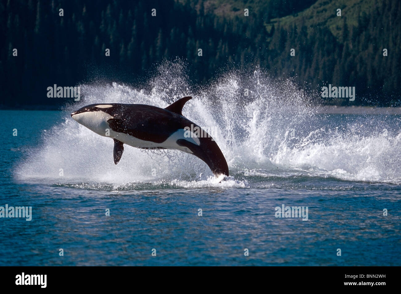 Double Breaching Orcas Bainbridge Passage Prince William Sound Alaska Summer Southcentral - Stock Image