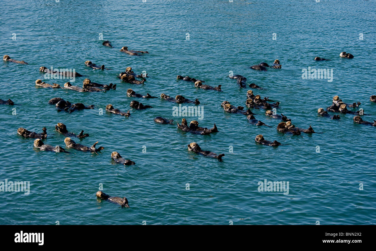 A large group of Sea Otters gather together in Prince William Sound in Alaska - Stock Image