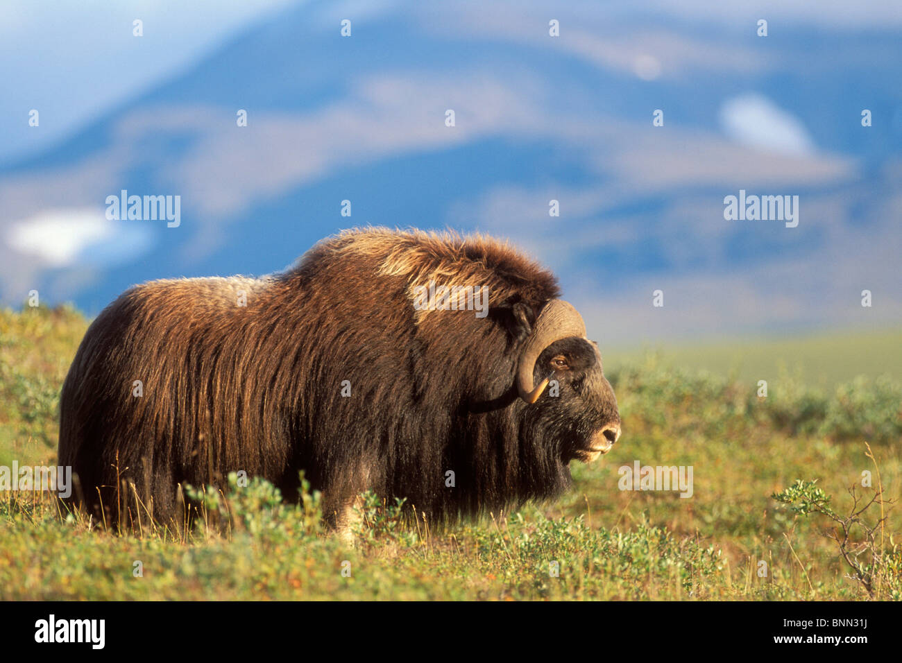 Musk ox bull standing on tundra in late summer on the Seward Peninsula near Nome, Arctic Alaska - Stock Image