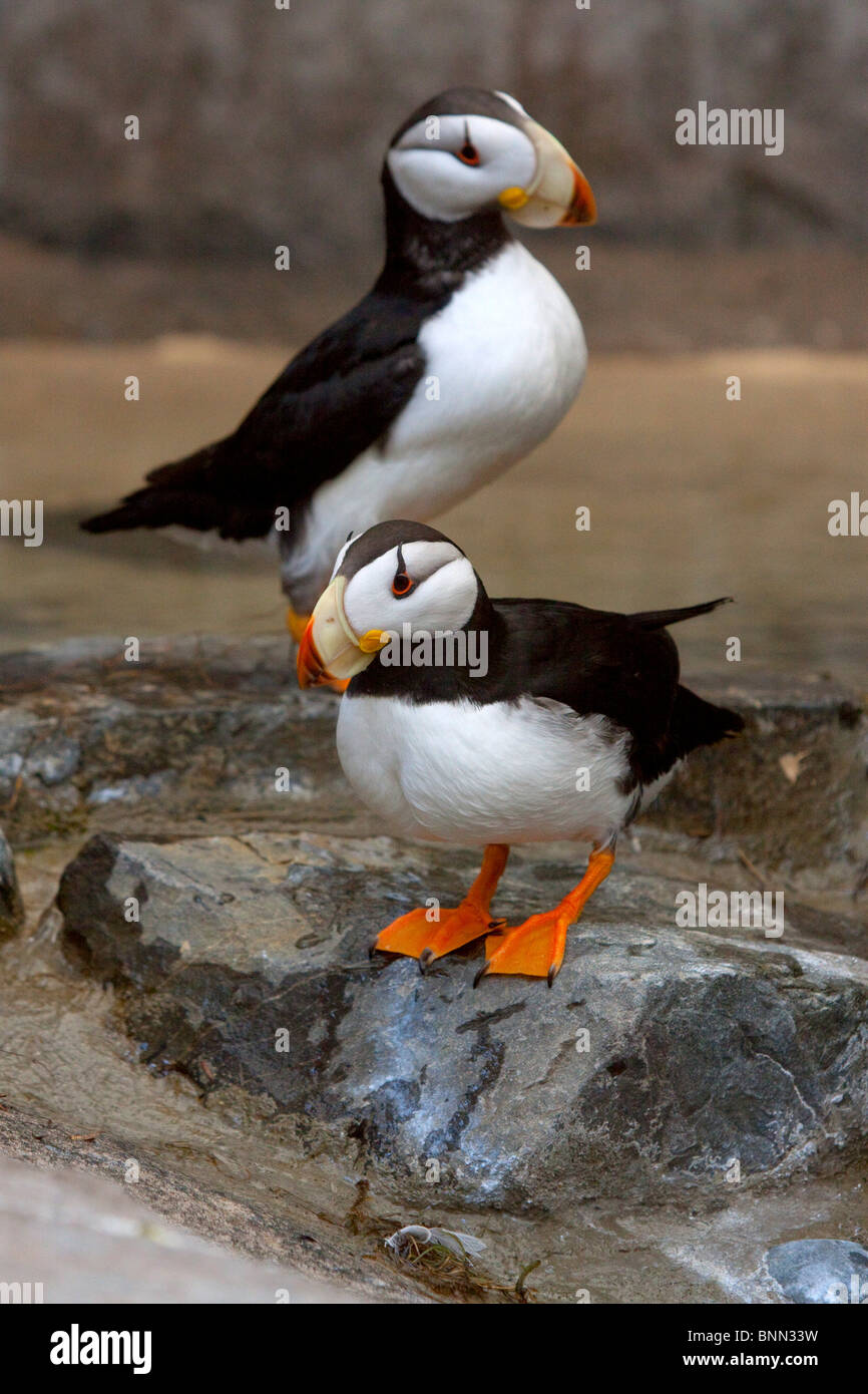 CAPTIVE pair of Horned Puffins in Summer mating plummage at the Seward Sealife Center in Alaska - Stock Image