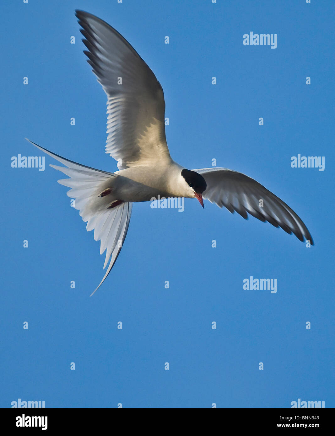 An Arctic Tern in flight as it hovers over Potter's Marsh near Anchorage in Alaska - Stock Image