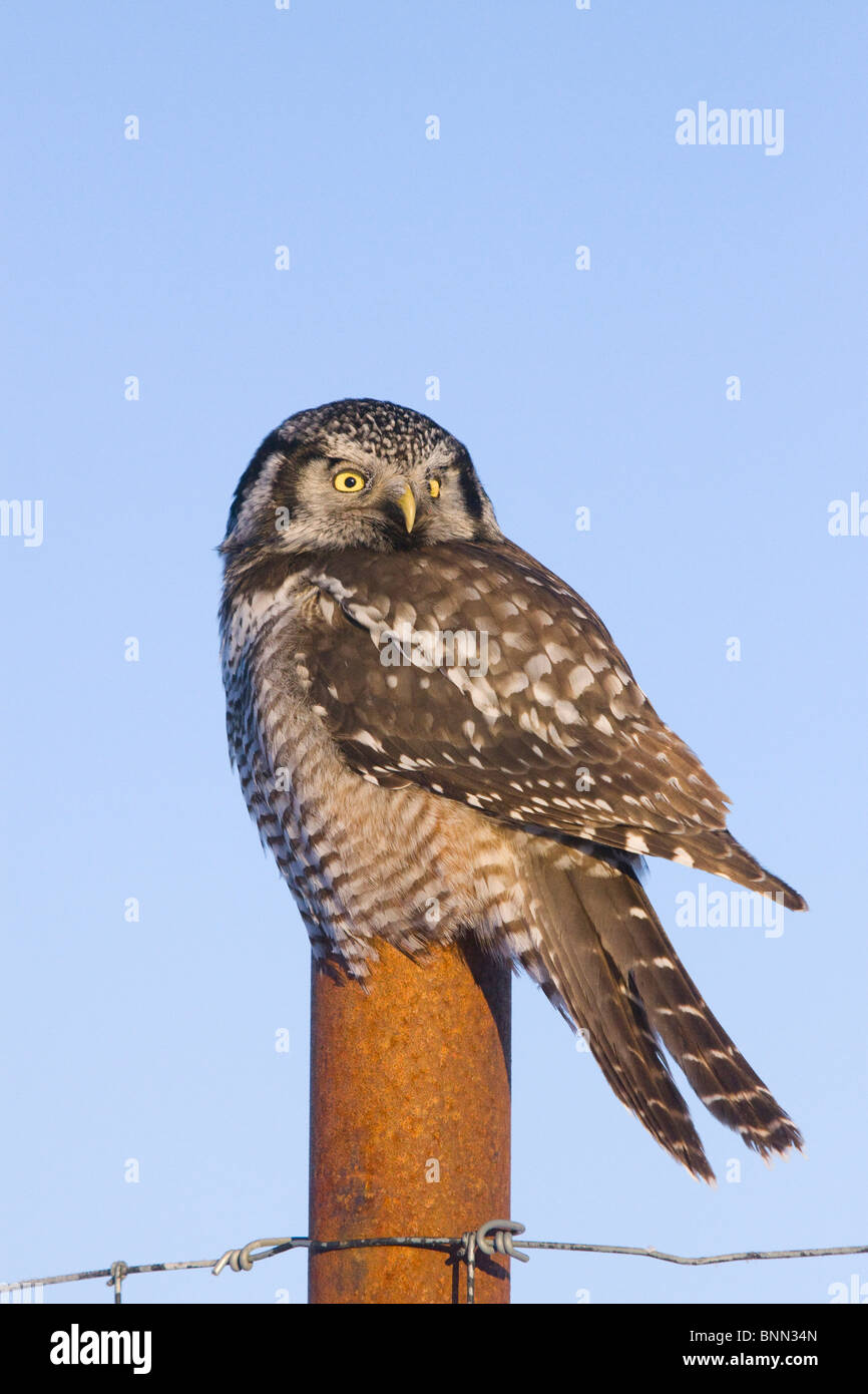Hawk owl is perched on a fence post near Portage in Alaska during Winter - Stock Image