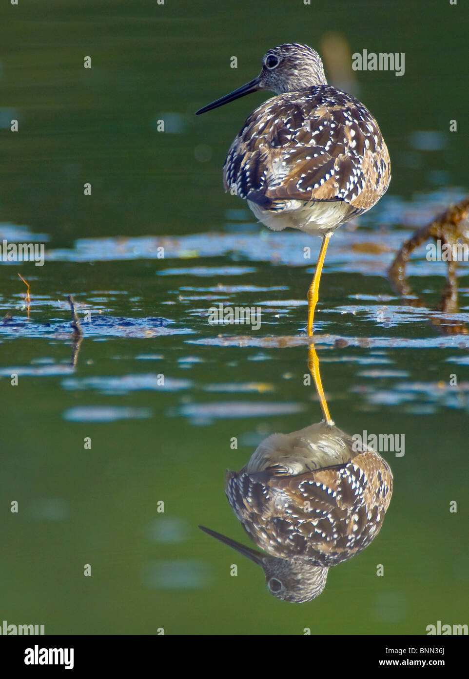 A Lesser Yellowlegs standing on one leg is reflected in the still water of Westerchester Lagoon, Anchorage, Alaska - Stock Image