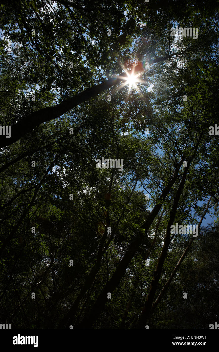 SUNLIGHT SHINING THROUGH WOODLAND TREES - Stock Image