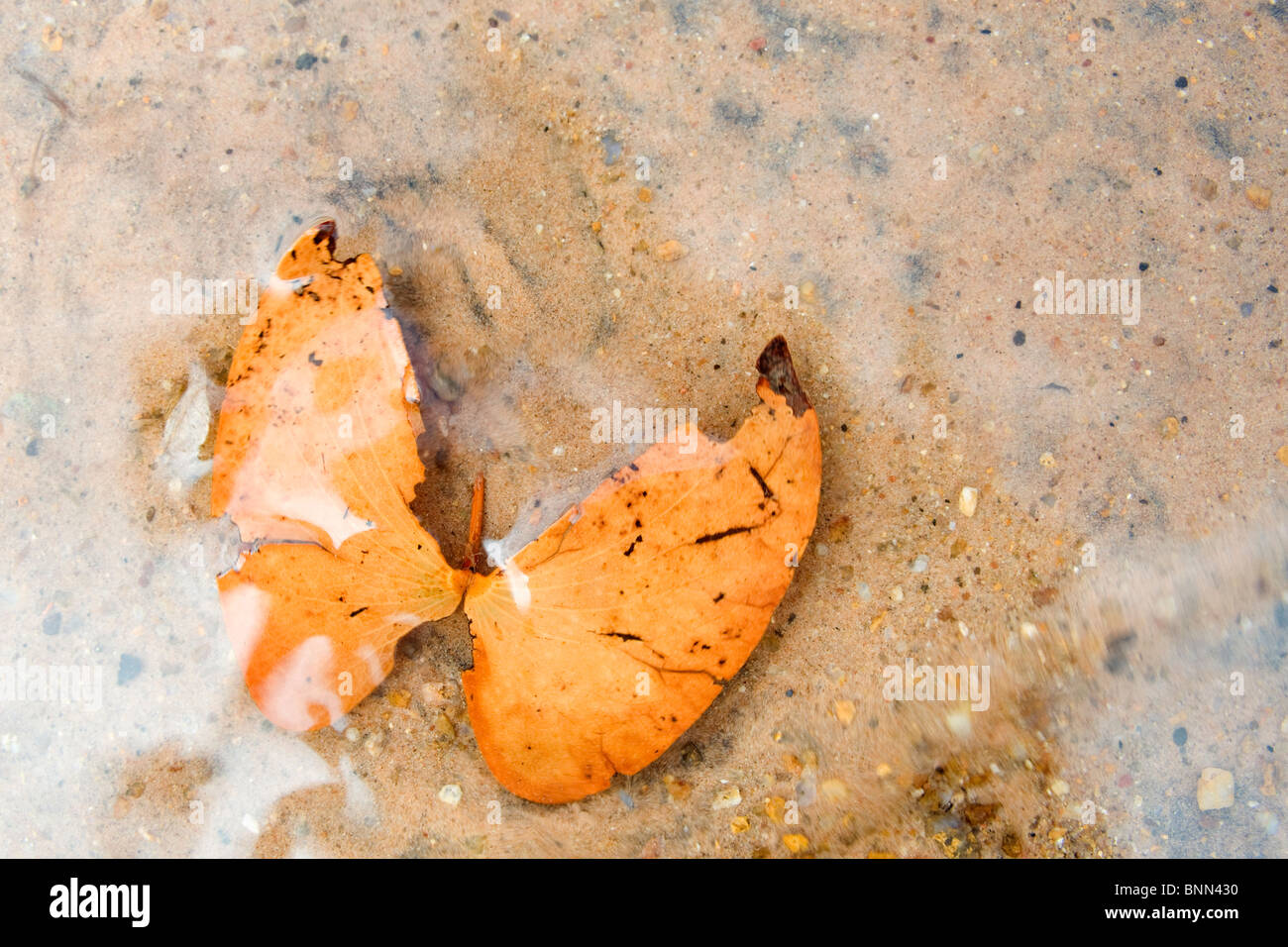 Mopane leaves in water Stock Photo