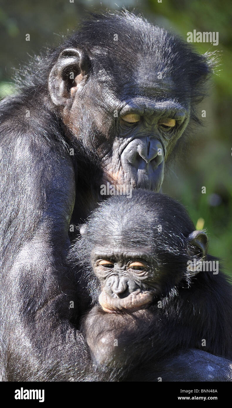Mother Bonobo (Pan paniscus) and her young - Stock Image