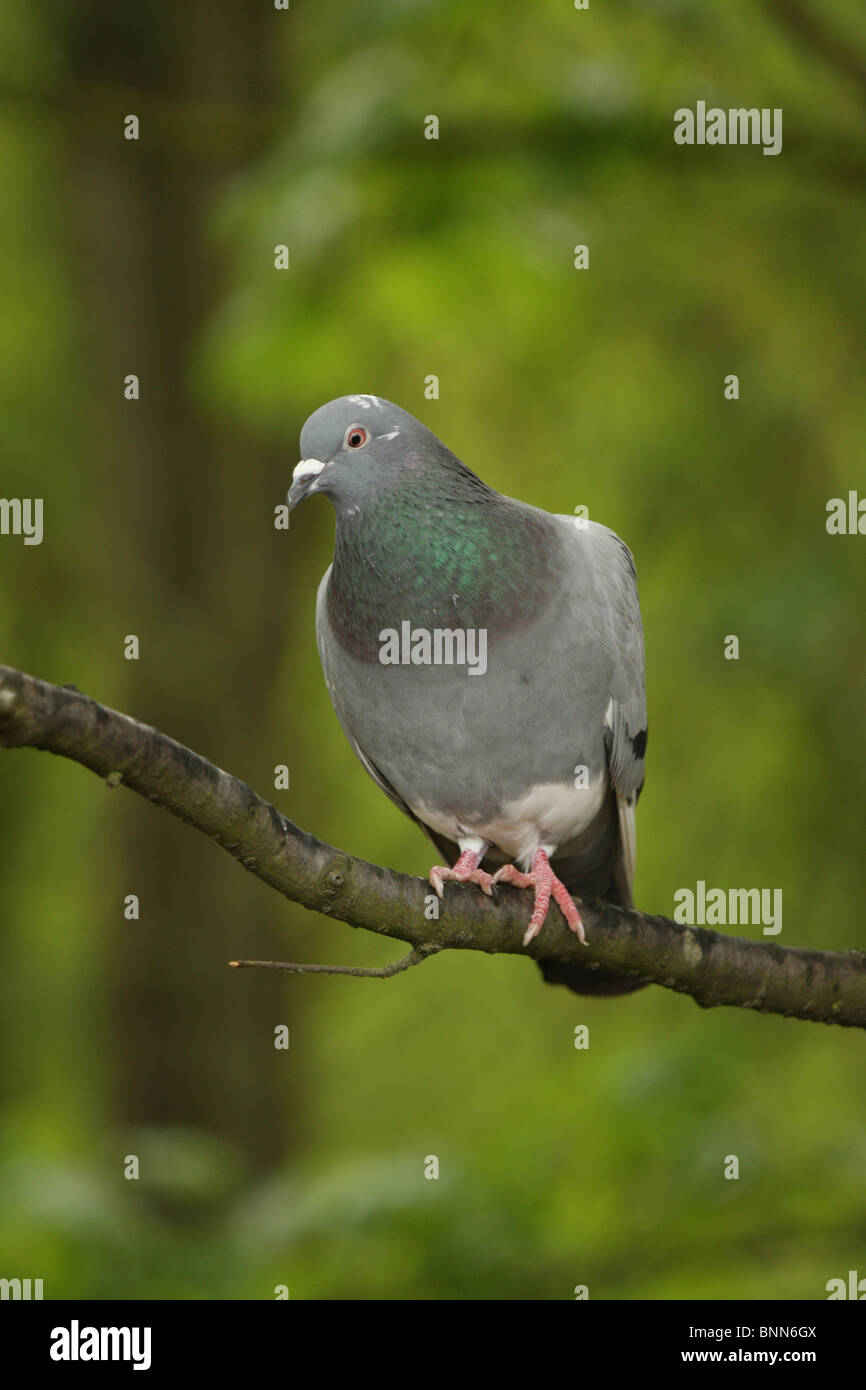 Vertical shot of a pigeon on a branch against bright green foliage - Stock Image