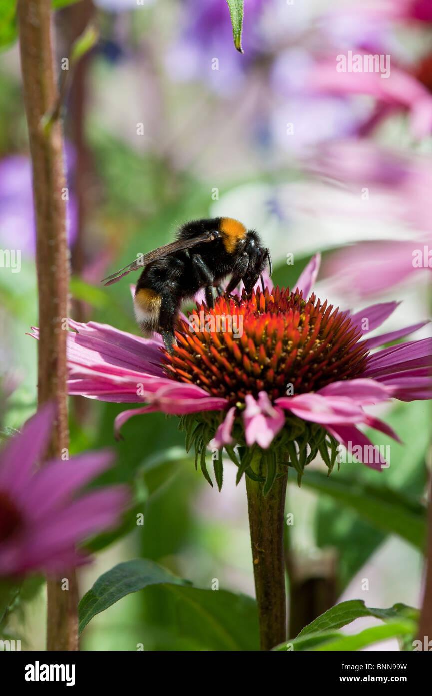 Bumble bee, bombus lucorum, feeding on an echinacea purpurea flower in an english garden - Stock Image