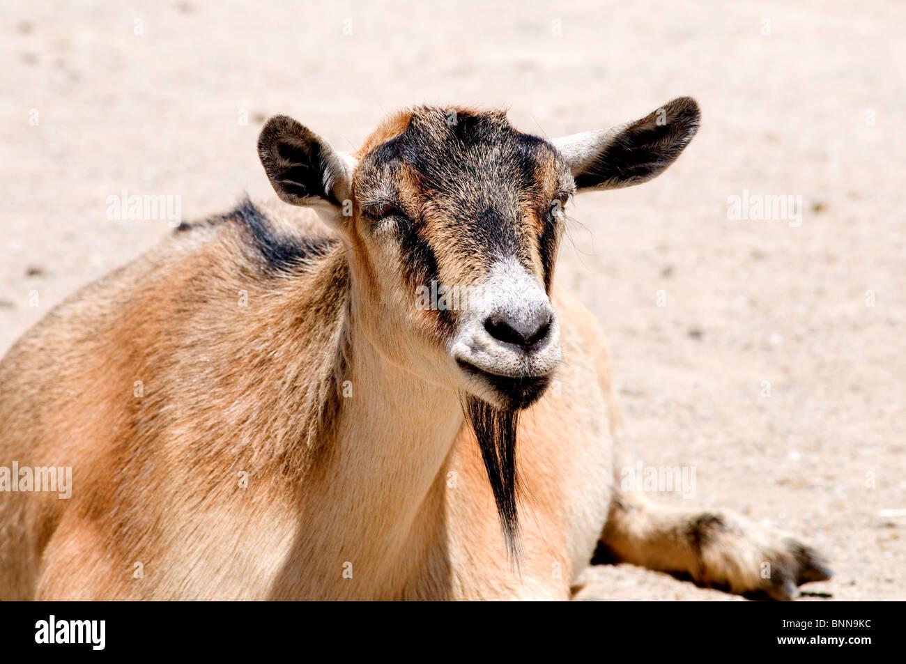 Pygmy goat lying down - Stock Image