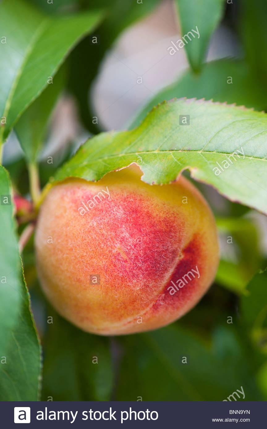 Prunus persica var. nectarina 'Garden Lady'. Nectarine 'Garden Lady' , Peach 'Garden Lady' - Stock Image