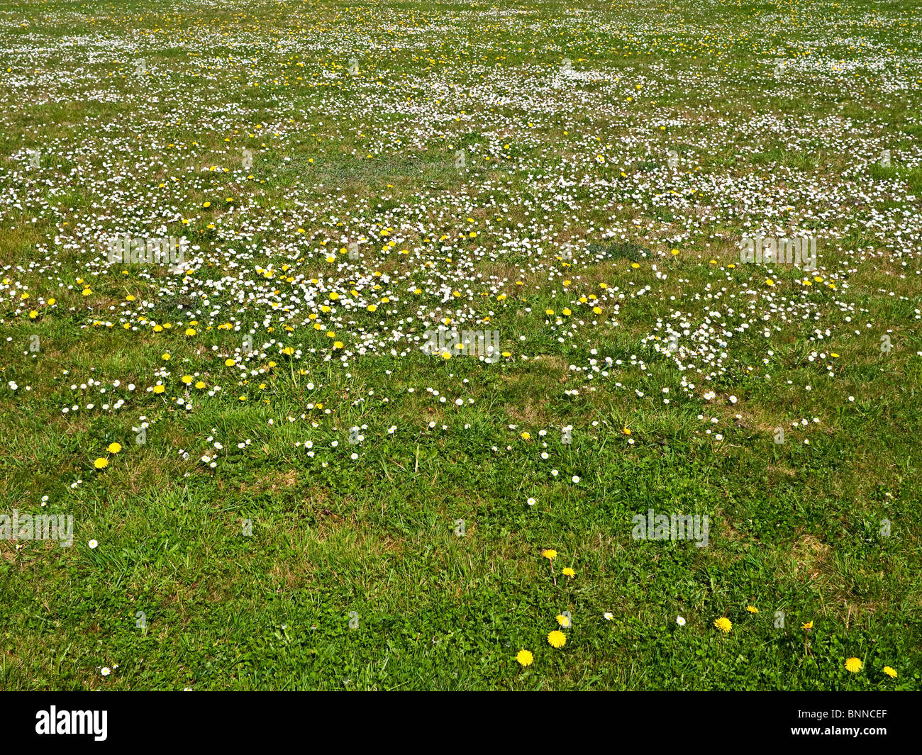 Daisies, Dandelions and weeds growing out of control in garden lawn - France. - Stock Image