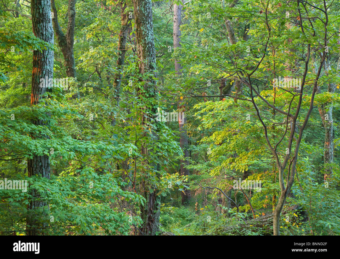 upland oak forest along the Knobstone Trail on Round Knob, Clark State Forest, Indiana - Stock Image