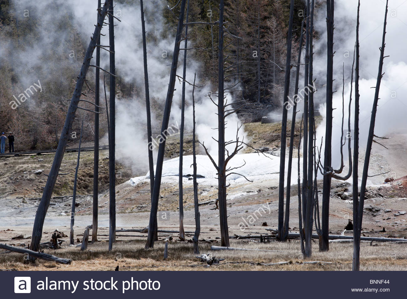 Dead Trees and Black Growler Steam Vent at Norris Geyser Basin, Yellowstone National Park, Wyoming Stock Photo