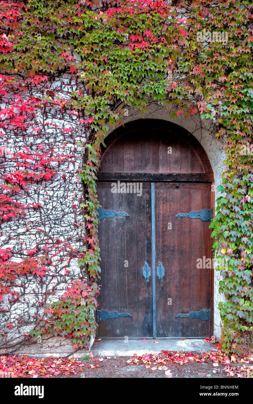 Door will fall colored ivy. Grgich Hills Estate. Napa Valley, California - Stock Image