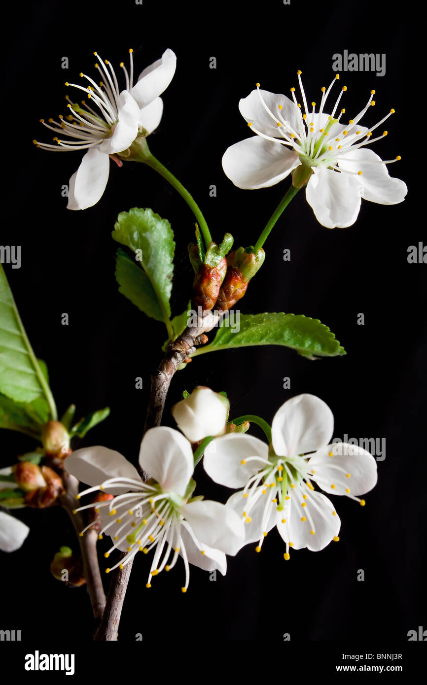 Beautiful flowers blooming cherry on a black background stock photo beautiful flowers blooming cherry on a black background izmirmasajfo