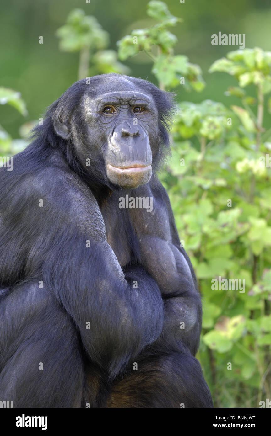Portrait of a male Bonobo (Pan paniscus) sitting - Stock Image