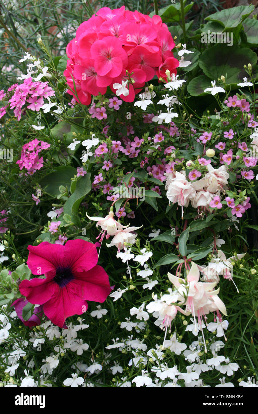 Pink and White Flowers In A Hanging Basket - Stock Image
