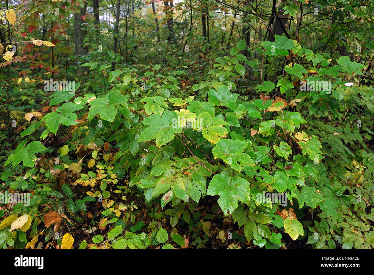Fall colours colors Forest Governor Dodge State Park Wisconsin USA America United States of America leaves - Stock Image