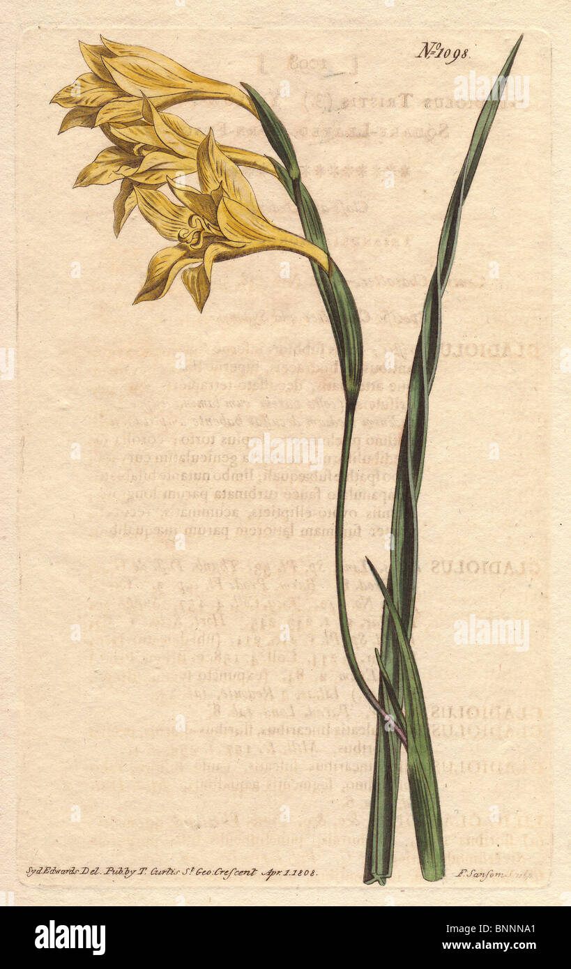 Yellow cornflag or Afrikaner from South Africa.  Gladiolus tristis - Stock Image