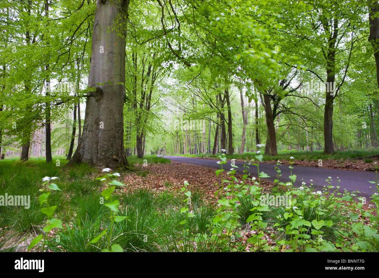 Verdant Spring foliage around the Grand Avenue of Savernake Forest, Marlborough, Wiltshire, England. Spring (May) - Stock Image
