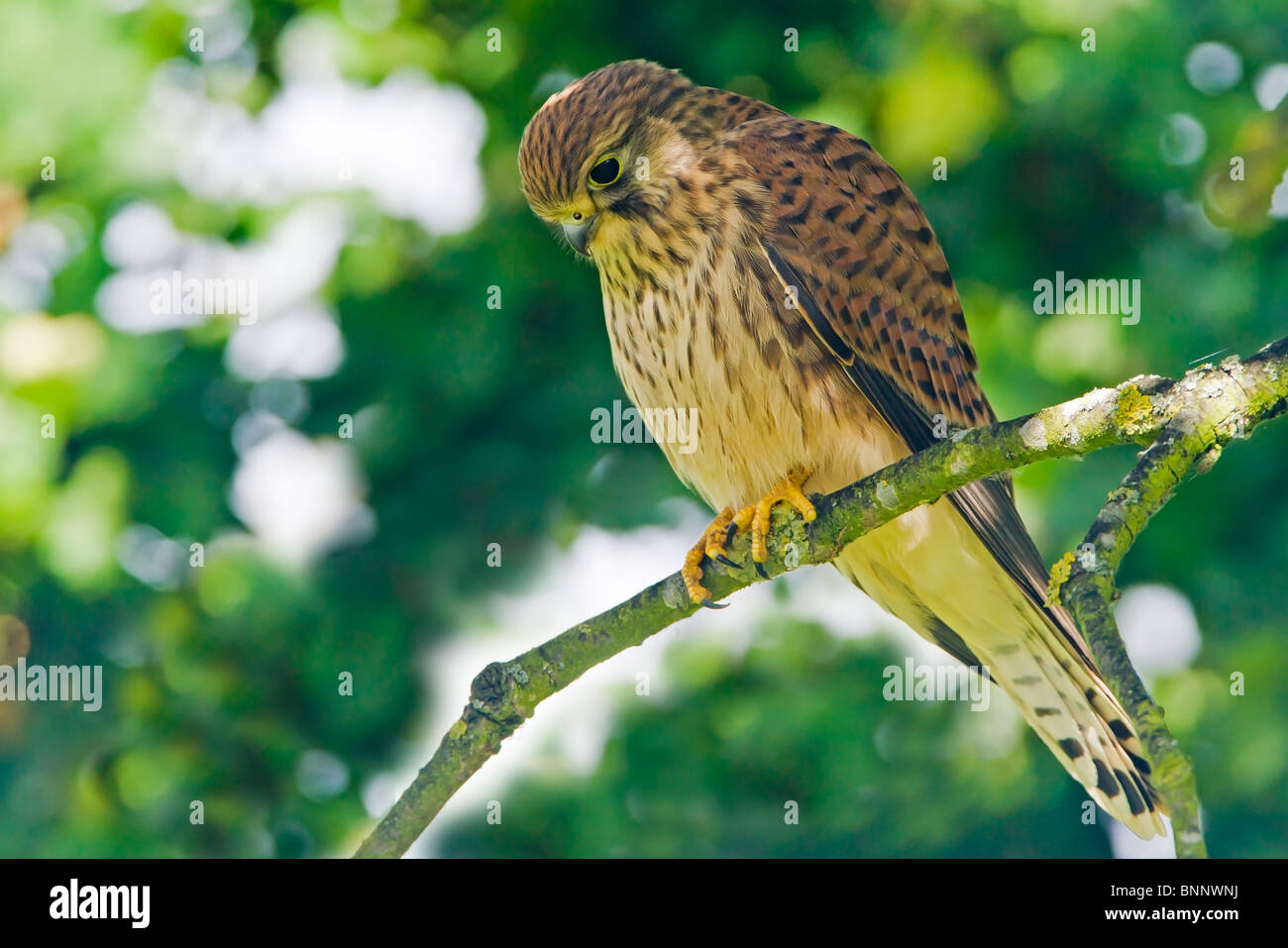 Kestrel perched in an oak tree looking down for a possible meal below. - Stock Image