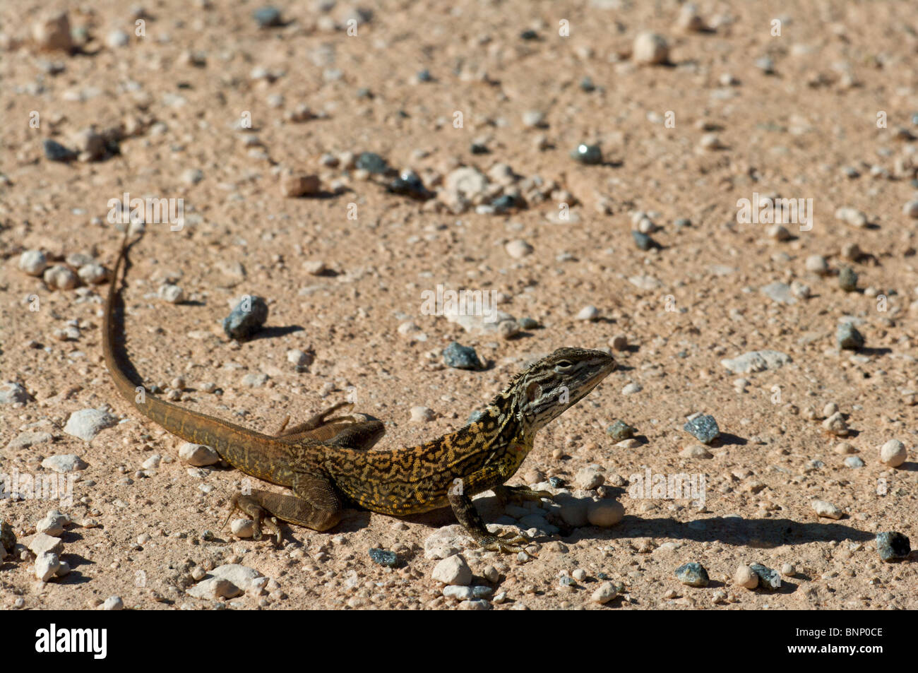 A Lozenge-marked Dragon (Ctenophorus scutulatus) warily resting on the desert floor in Shark Bay , Western Australia. - Stock Image