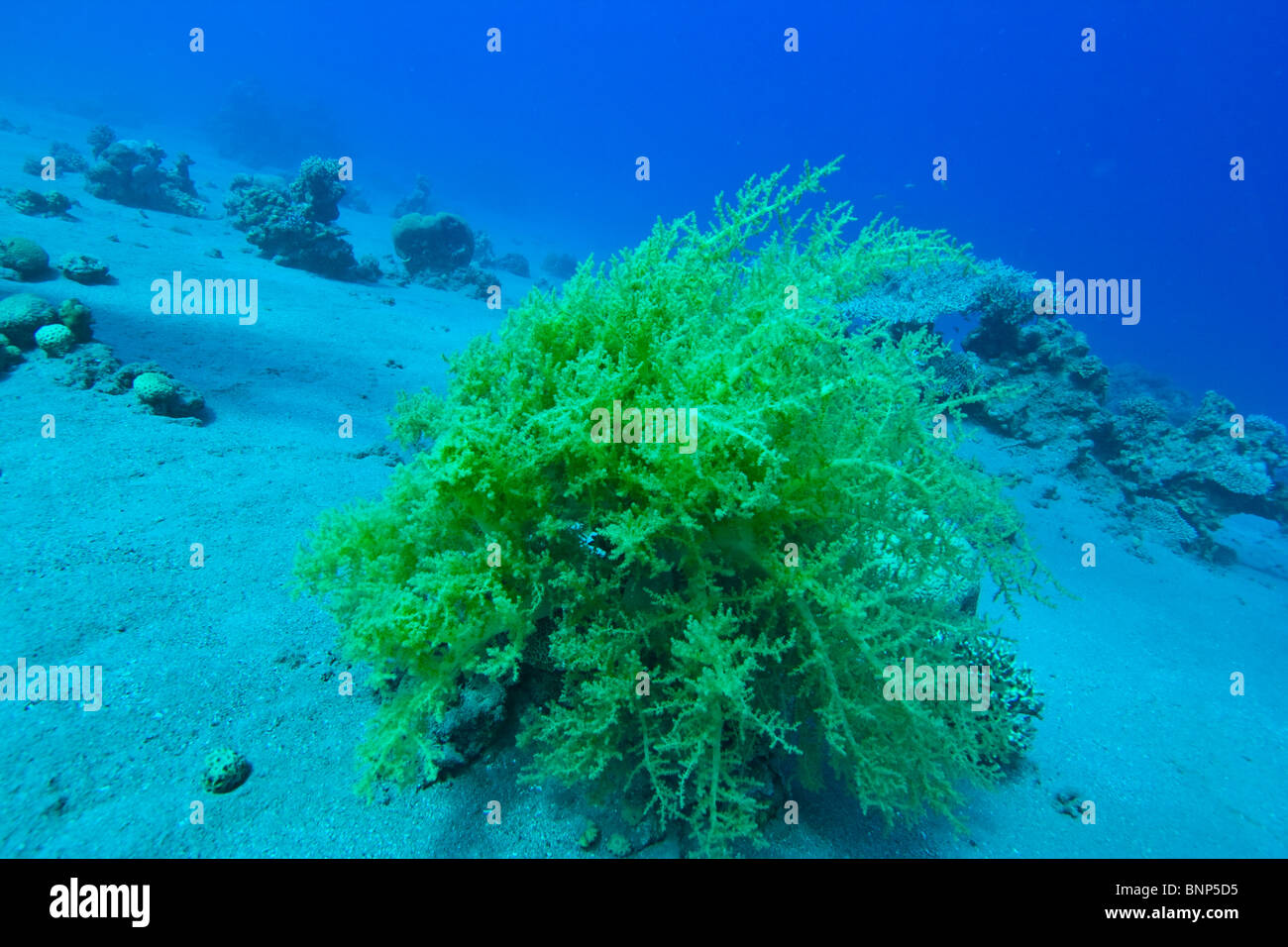 Litophyton arboreum - Stock Image