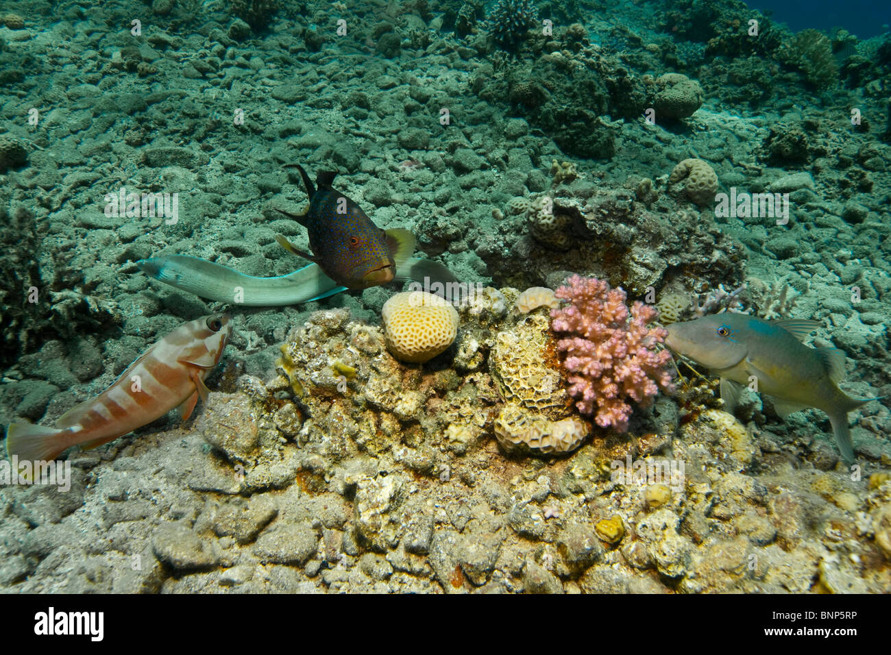Let the party begin! Peppered moray, Coral Grouper, Goldsaddle goatfish and Blacktip Grouper Stock Photo