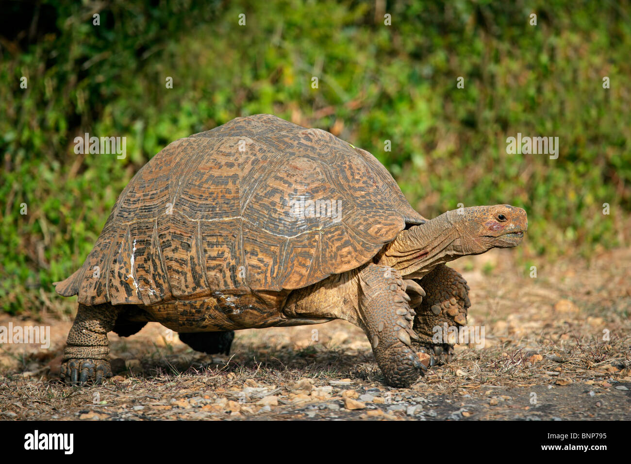 Mountain or leopard tortoise (Geochelone pardalis), South Africa - Stock Image