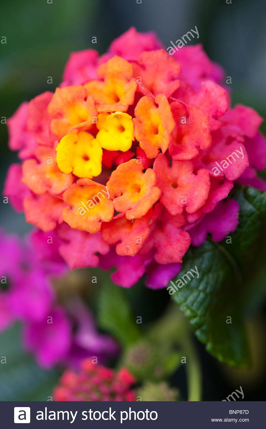 Bright Colored Flowers Stock Photos & Bright Colored Flowers Stock ...