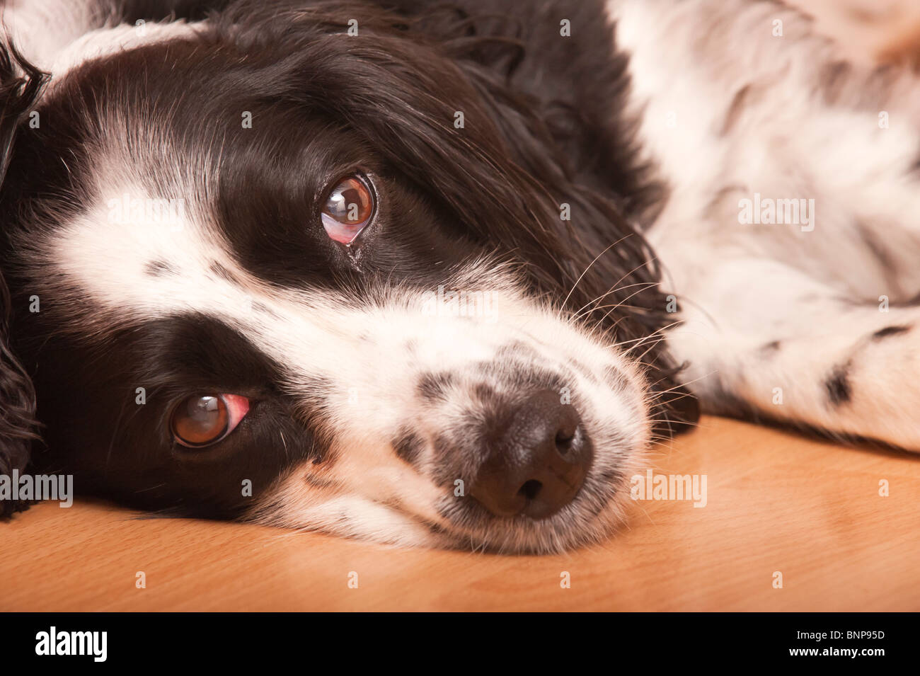 Close up of an English Springer Spaniel dog laying down indoors in the Uk - Stock Image