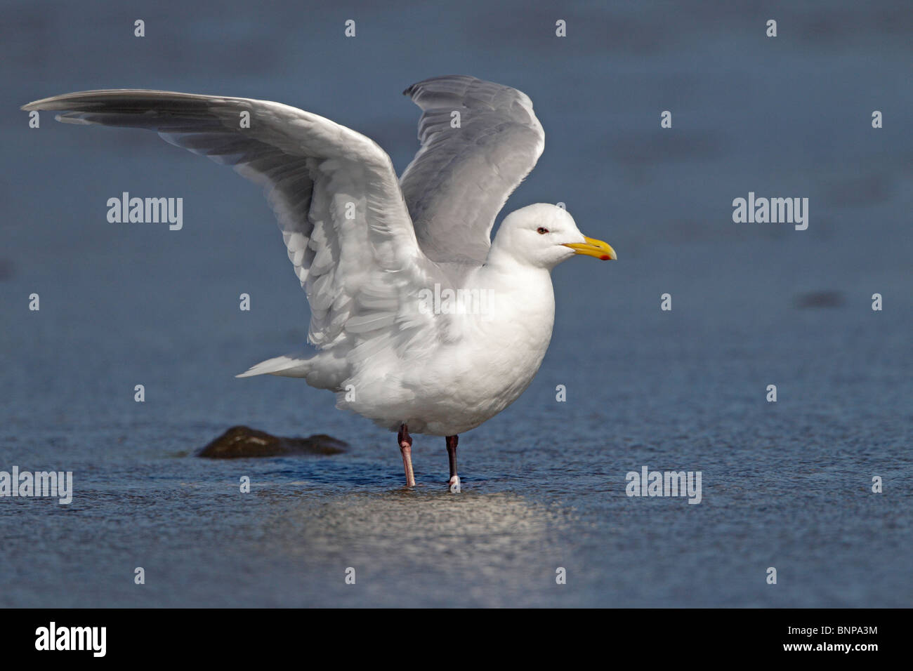 A Glaucous-winged Gull - Stock Image