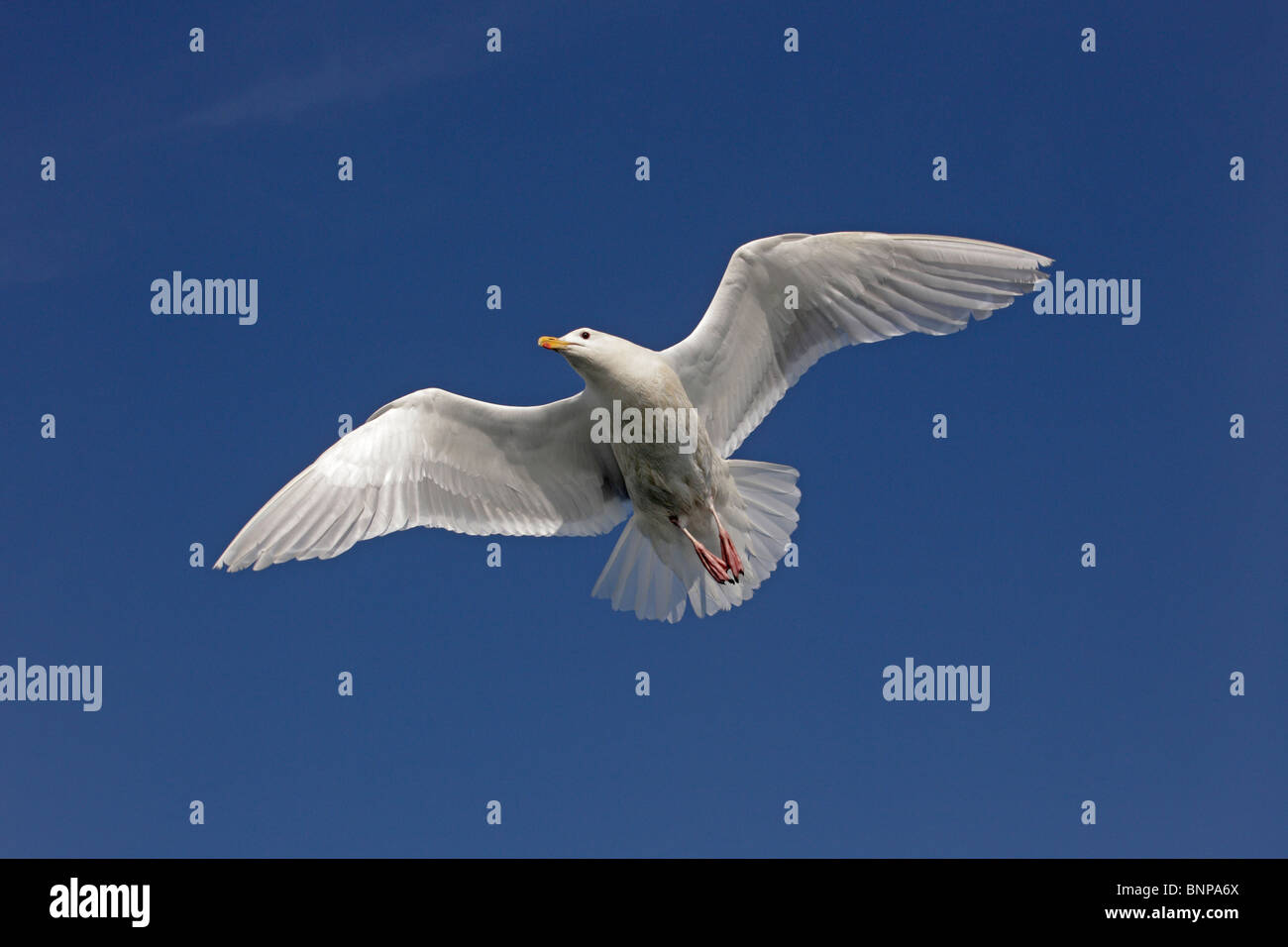 A Glaucous-winged Gull in flight - Stock Image
