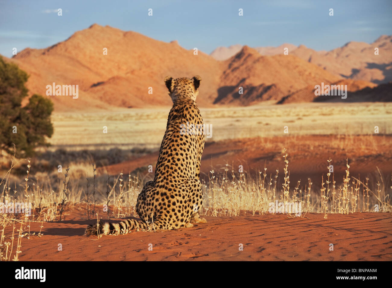 Cheetah (Acinonyx jubatus) with desert landscape in back ground. Namibia. - Stock Image