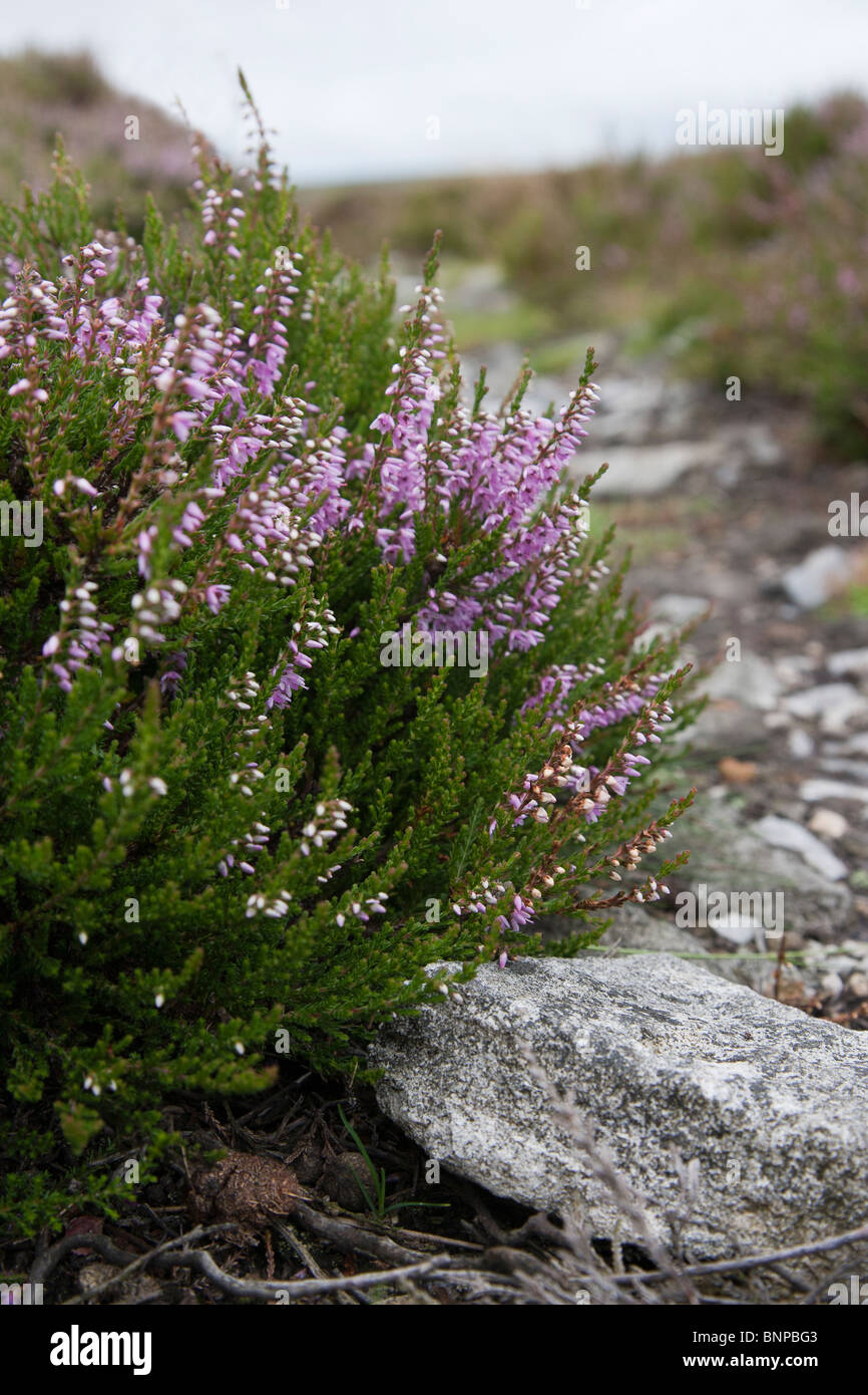 Heather. Calluna vulgaris (Ericaceae) on Edge of Footpath North Yorkshire Moors - Stock Image