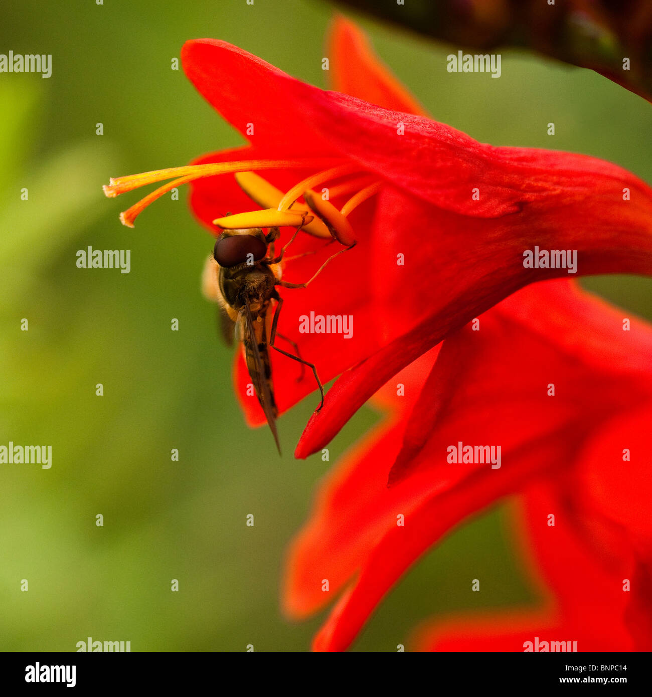 Close up of a Hoverfly on a Crocosmia masoniorum, Montbretia,flower - Stock Image