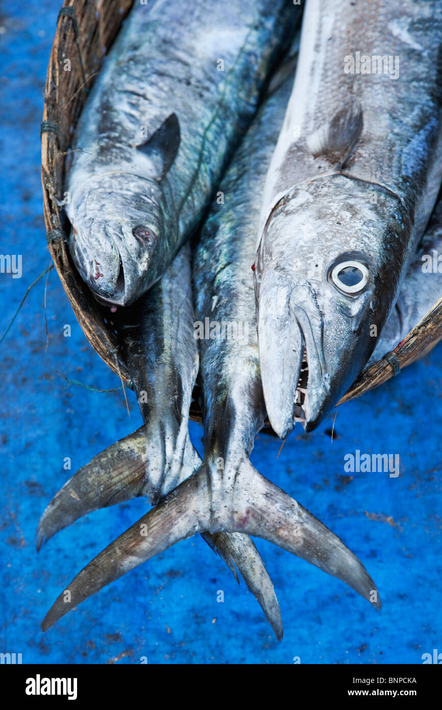 Fish in a wicker basket which make up part of a daily catch at the fishing village Fort Kochi. Kochi, Kerala, India - Stock Image