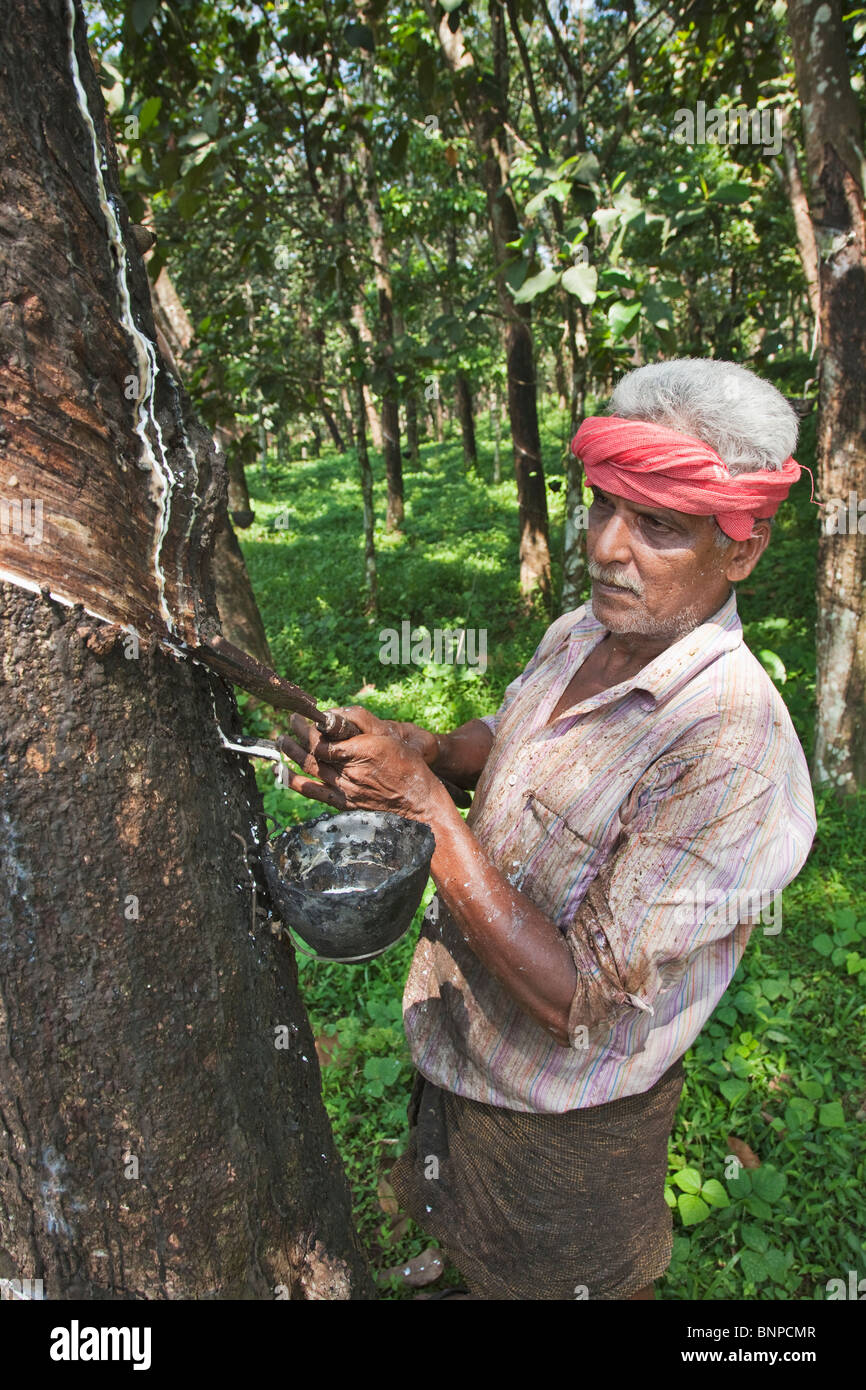 Rubber tapping is the process by which rubber is gathered - Stock Image